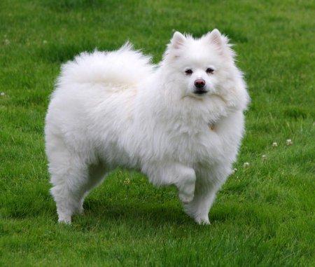 Ескімоської лайка: опис породи та характеру